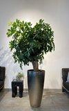 Schefflera  in Vase light gold_