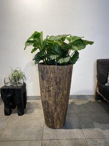 Calathea in Cemani Bosco Vase Small