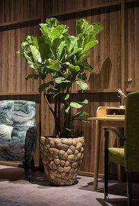 Ficus in Coconut Bosco Pot Small